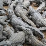 Croc pile